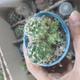 کاکتوس بذری سایز 6
