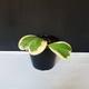 گیاه هویا کِری ابلق