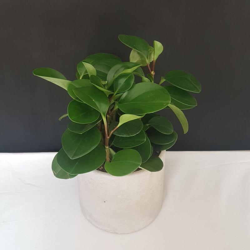 گیاه قاشقی در گلدان بتنی قطر 16