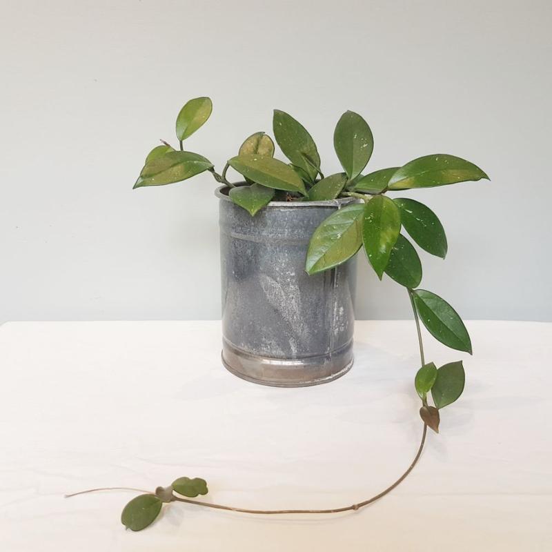 هویا کارنوزا در گلدان فلزی دست ساز