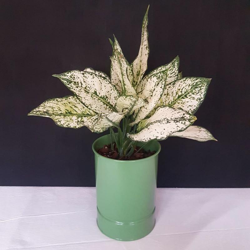 آگلونِما سفید در گلدان فلزی