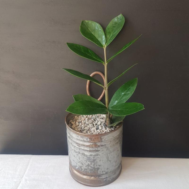 زامیفولیا در گلدان فلزی دست ساز