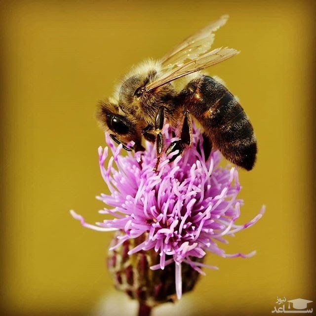 عسل قنقال 900گرمی