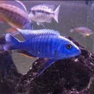 ماهی بلوالکتریک