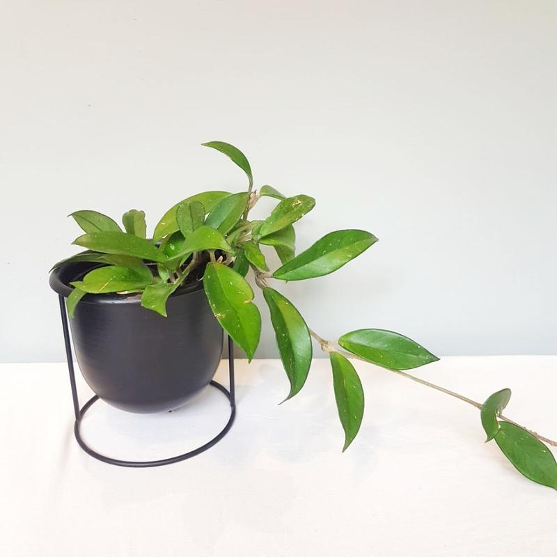گیاه هویا کارنوزا گلدان فلزی رومیزی