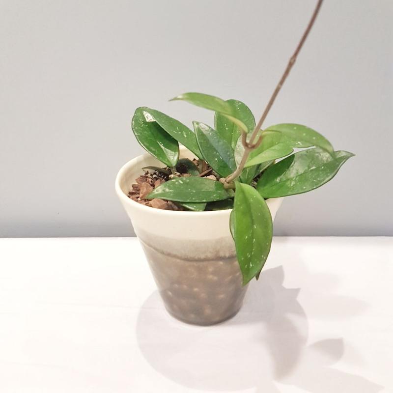 گیاه هویا کارنوزا گلدان سرامیک دست ساز